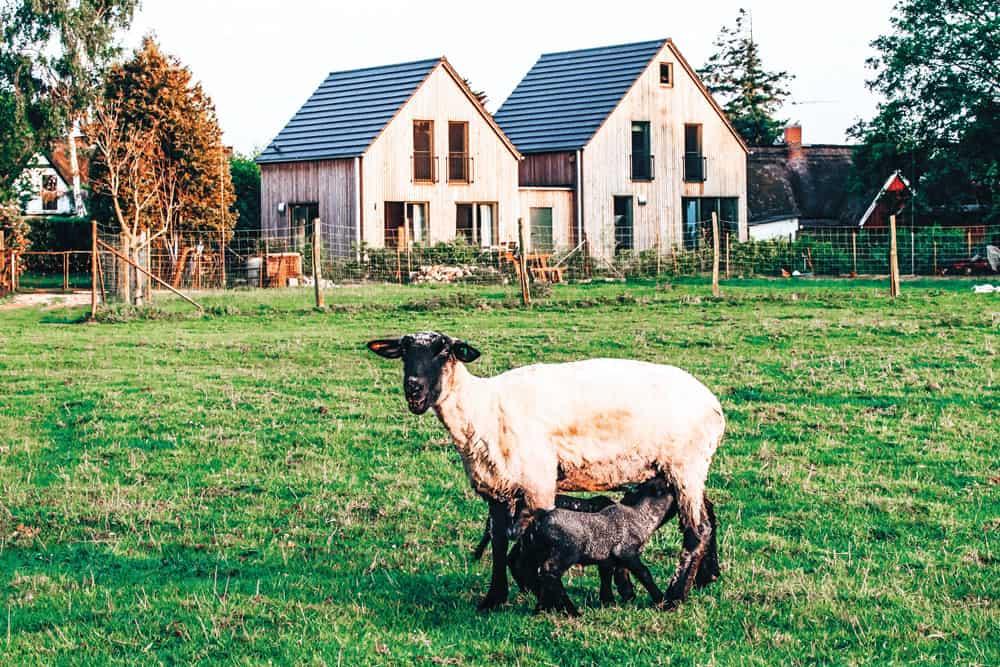 Ein Lamm und ein Schaf stehen auf einer grünen Wiese